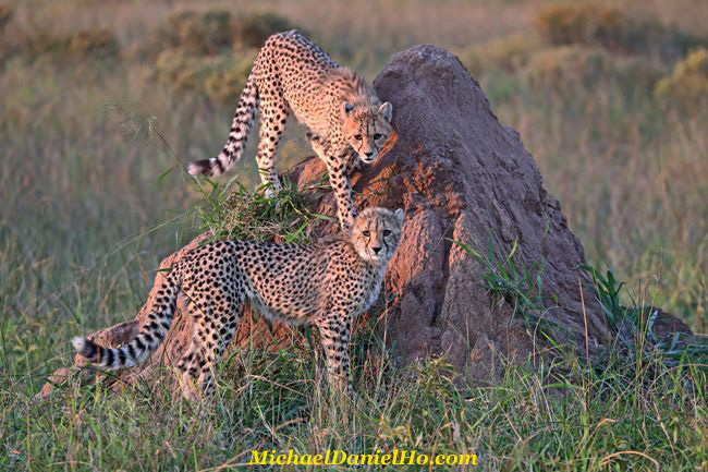 Cheetah cubs on termite mound, South Africa