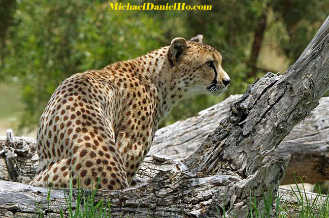 Cheetah photos
