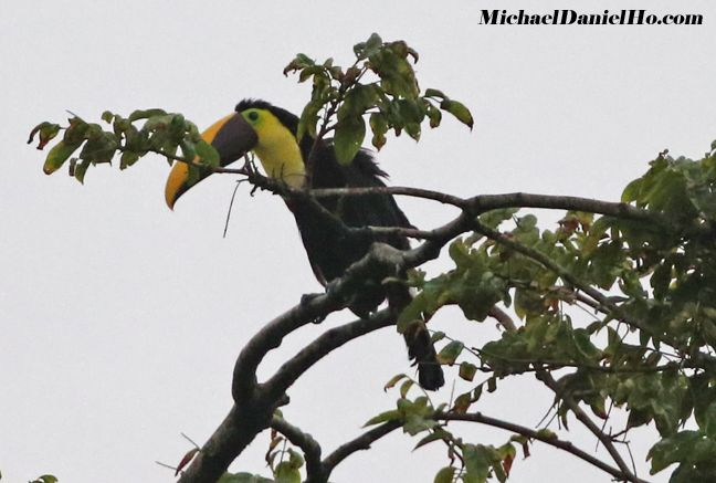 photo of chestnut-mandibled toucan in tree