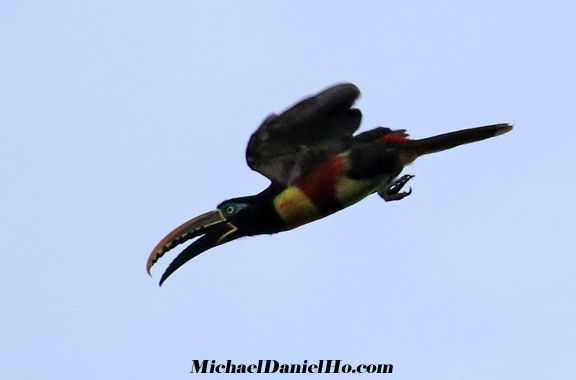 photo of Collared Aracari diving in the Amazon