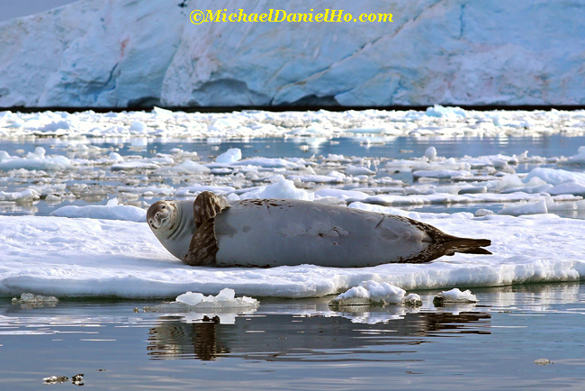crabeater seal on ice in antarctica