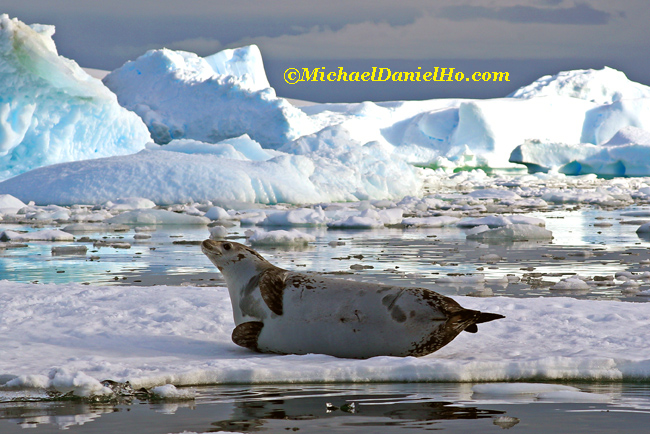 crabeater seal on ice floe in antarctica