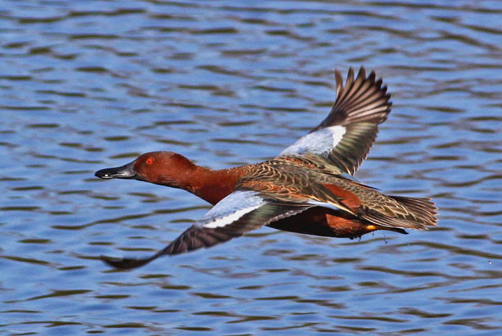 photo of cinnamon teal duck