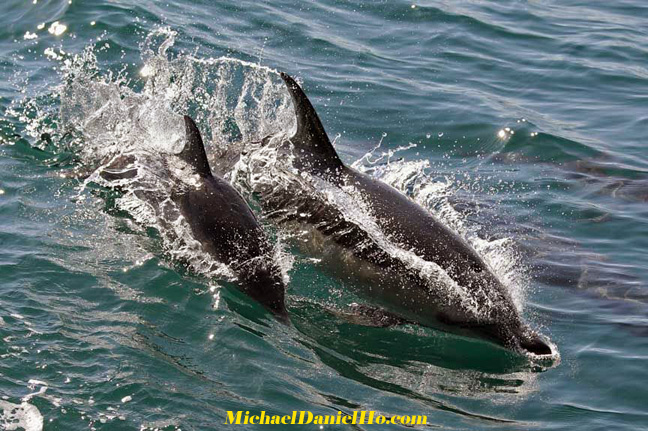 common dolphin swimming