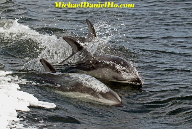 pacific white-sided dolphin swimming
