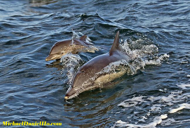 photo of common dolphins