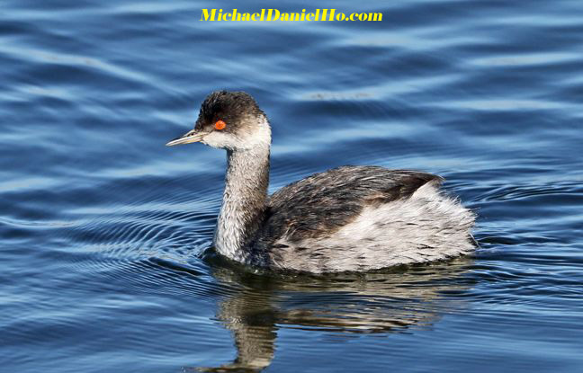 photo of Eared Grebe in water