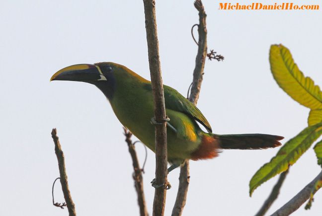 photo of emerald toucanet in costa rica