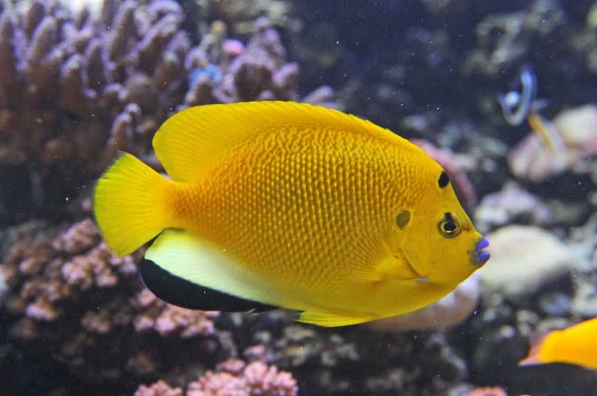 Tropical Fish Sixspine Butterfly-fish Stock Photo - Image: 3154572