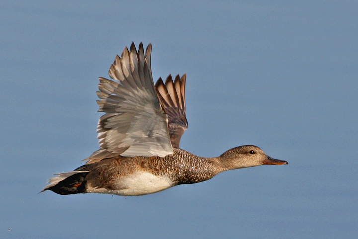 photo of gadwall