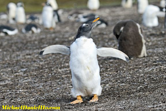 photo of Gentoo Penguin chick