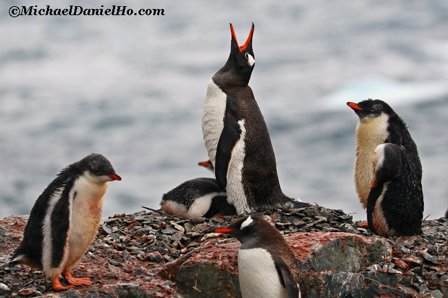 gentoo Penguin mom with chick braying