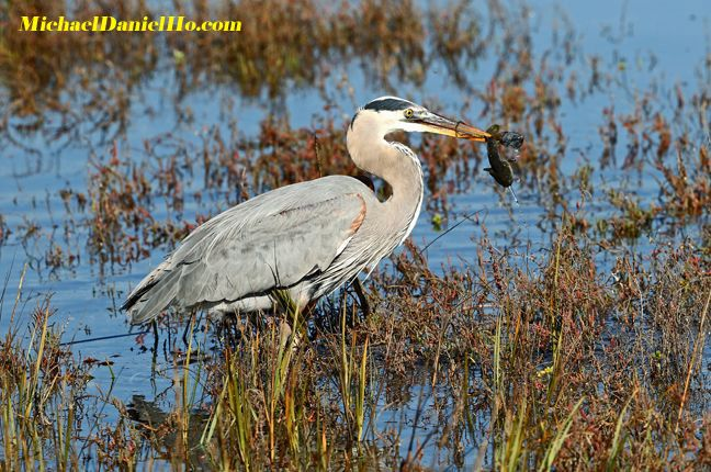 photo of great blue heron with fish in mouth