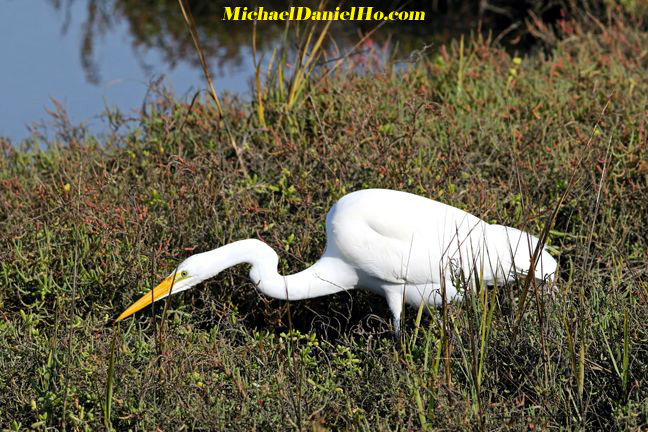 photo of great egret hunting