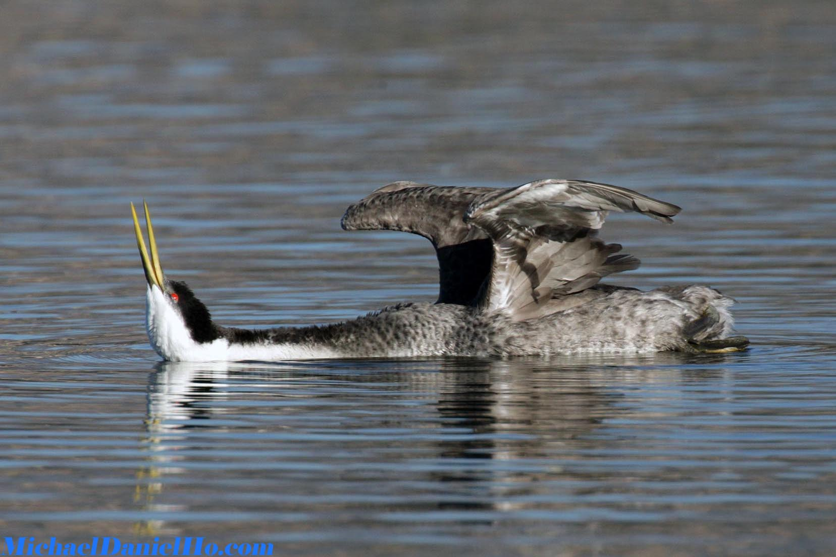 photo of Western Grebe