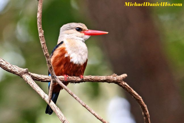 photo of grey-headed kingfisher
