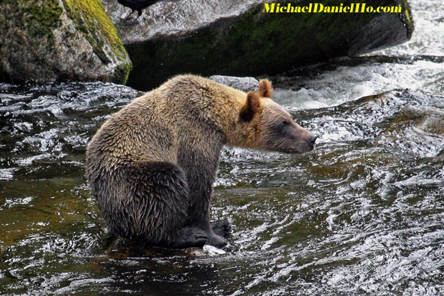 grizzly bear pic