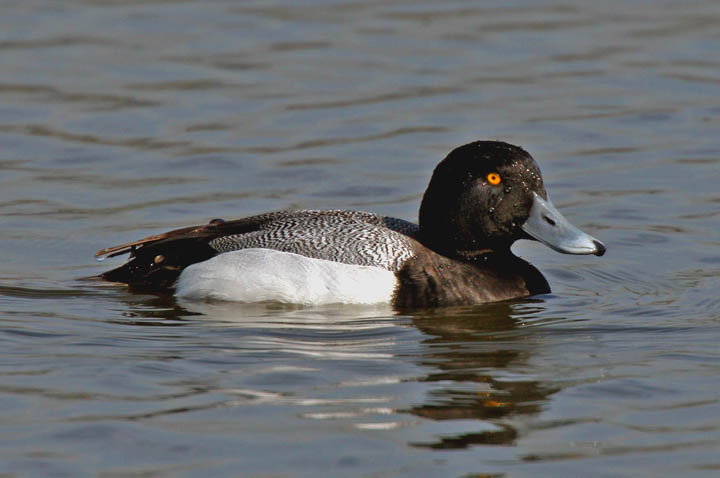 photo og greater scaup