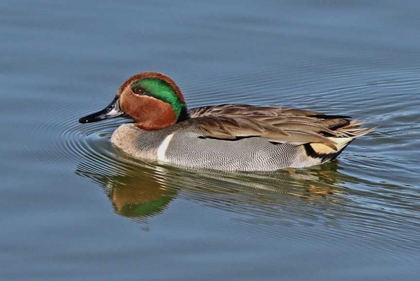photo of green winged teal