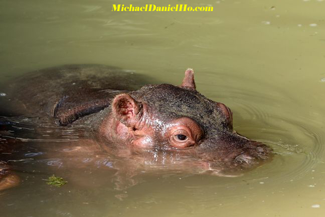 hippo mom and calf in Africa