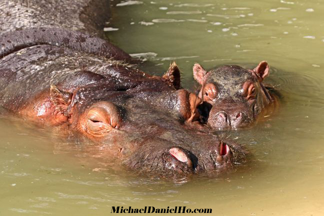 hippo calf in South Africa
