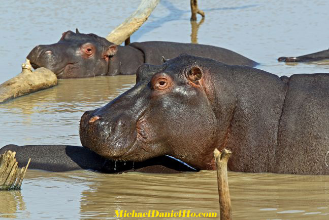 photos of sleeping hippos in South Africa