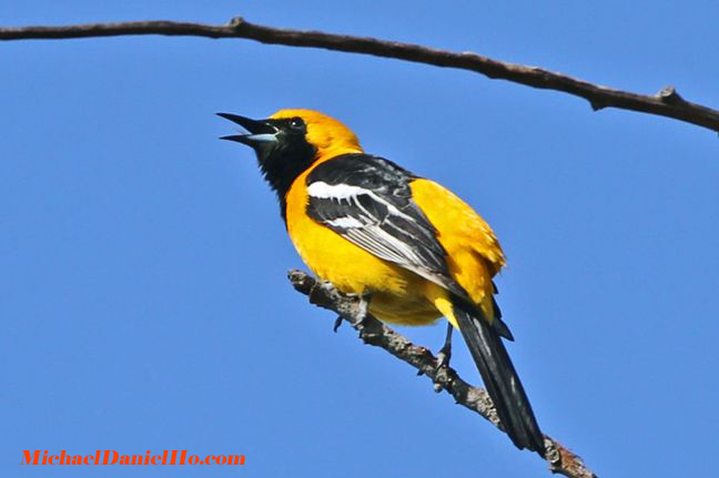 photo of hooded oriole