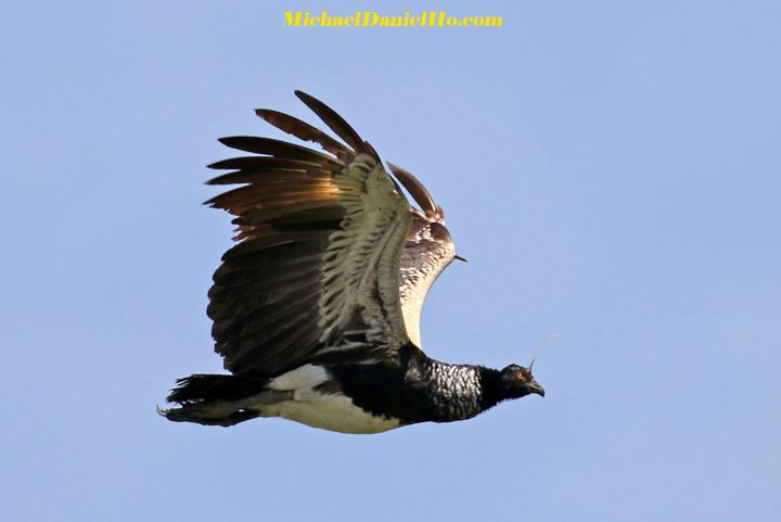 photo of Horned Screamer flying in the Amazon basin