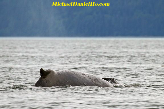 humpback whale surfacing to breath in Alaska