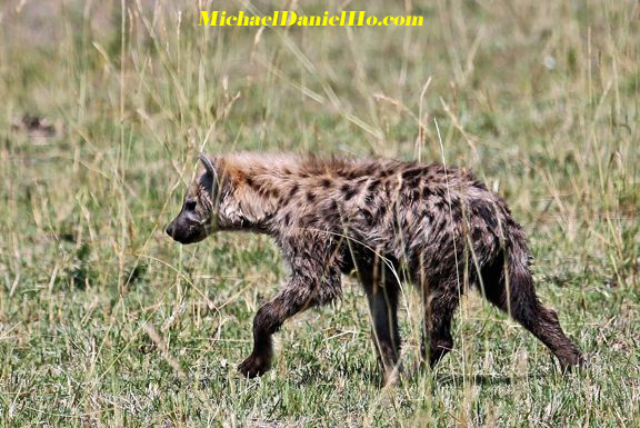 photo of Hyena in Africa