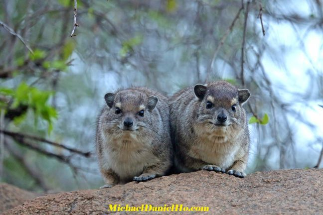 photo of two Hyrax in Africa