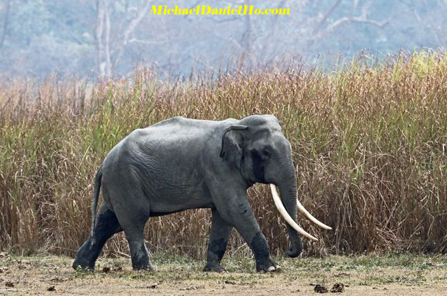 Indian elephant in India