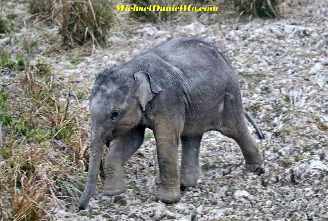 indian elephant calf in india