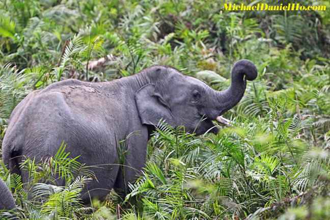 indian elephant in forest