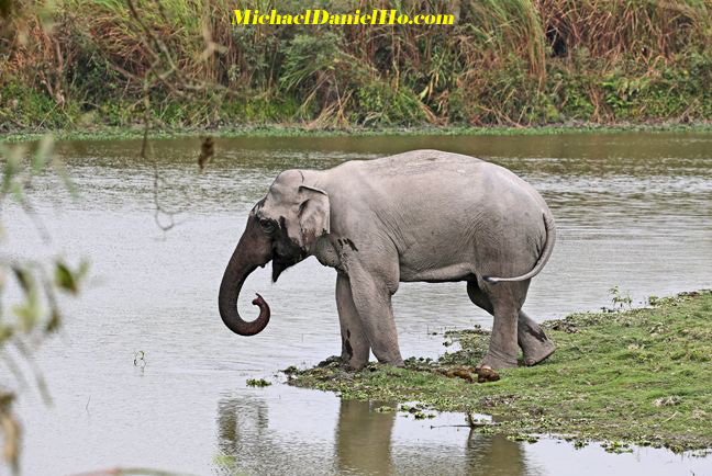 indian elephant drinking from a river