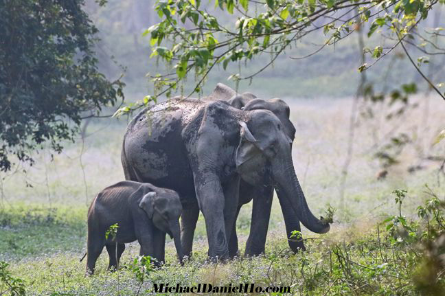 indian elephant calf and mom