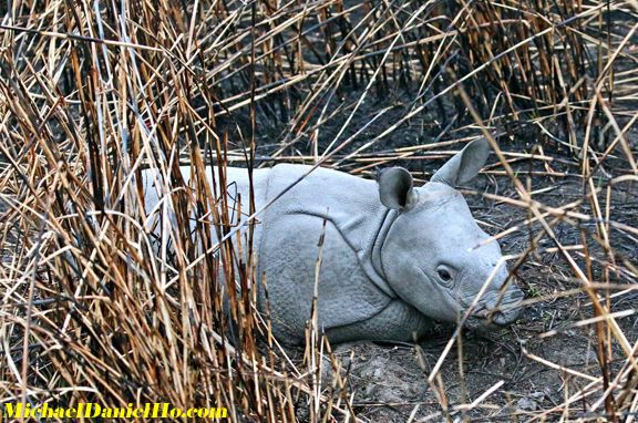 photo of indian rhino calf
