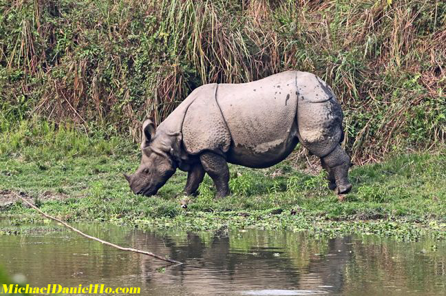 Indian Rhino drinking by the river in India