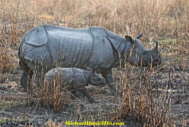 photo of Indian rhino mom and calf