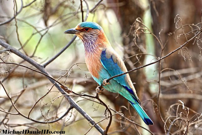 Indian roller on tree