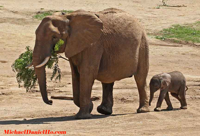 african elephant mom and calf photo