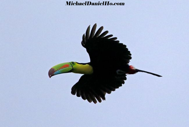 photo of Keeled Bill Toucan flying in Costa Rica