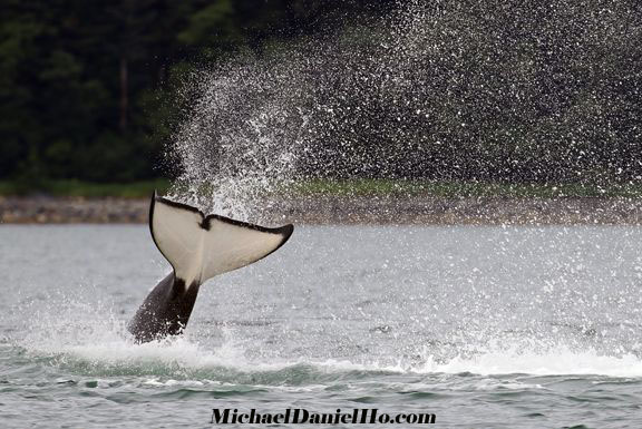 killer whale breaching in Alaska