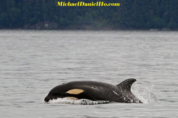 killer whale calf cruising in Alaska