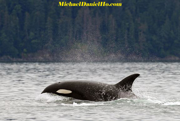 killer whale cruising in Alaska