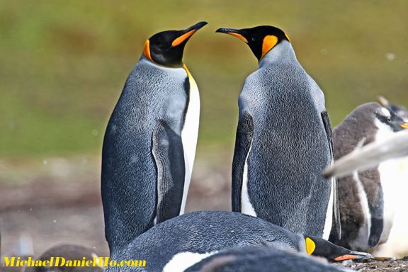 Adult King Penguins