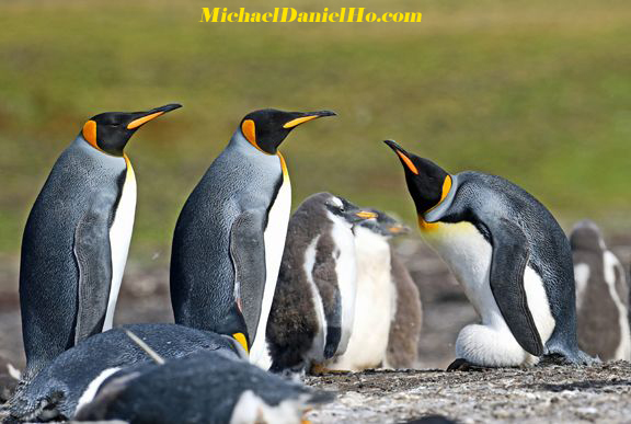 King Penguins in the Falklands