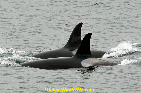 killer whale photos