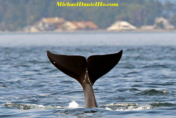 killer whale photography