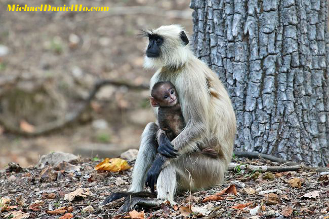 langur monkey with young in india